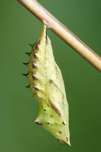 Diese Schmetterlingspuppe eines Tagpfauenauges (Aglais io) wurde mittels Focus Stacking besonders plastisch abgebildet.