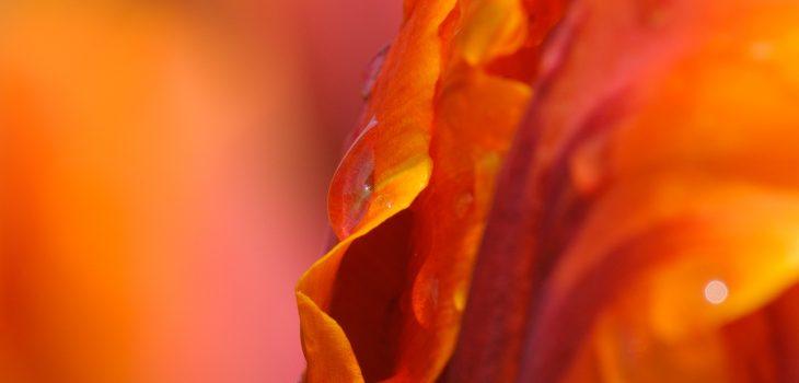 Makrofotografie eines Tulpe