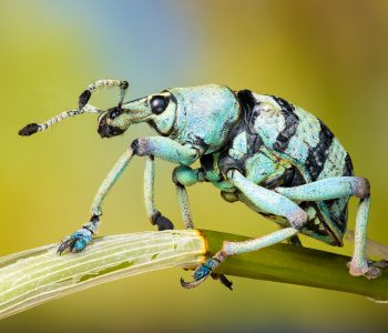 Focus Stack des Rüsselkäfers Eupholus schoenherri petiti aus Indonesien
