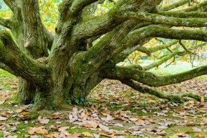 Ein alter Baum auf der Insel Mainau bietet sich als beliebtes Motiv an
