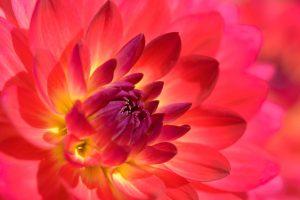 Während des Workshops Garten- & Makrofotografie erblüht die Insel Mainau in den schönsten Facetten der Dahlienblüte
