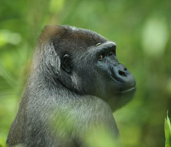 Gorilla beim Fotoworkshop Zoofotografie - Eine Besuch im Zoo Kölle