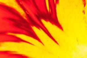 Makrofotografie einer Tulpe wie sie beim Fotoworkshop Orchideen & Tulpen auf der Insel Mainau fotografiert werden kann