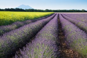 Lavendelfeld, Südfrankreich